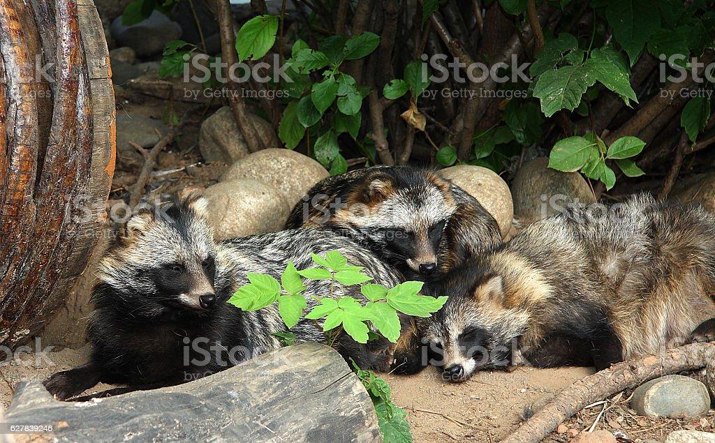 Raccoon dog royalty-free stock photo