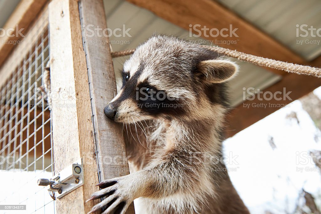 Raccoon in cage stock photo