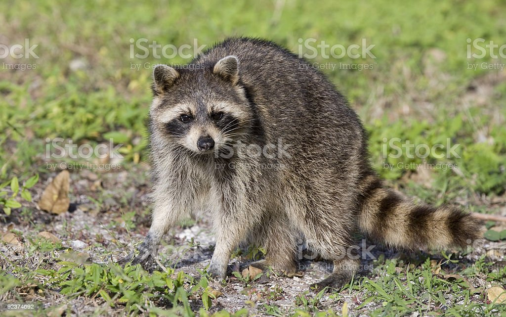 Raccoon in the sunlight. stock photo