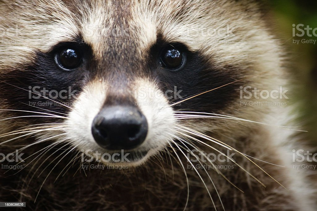 Raccoon looking at the camera stock photo