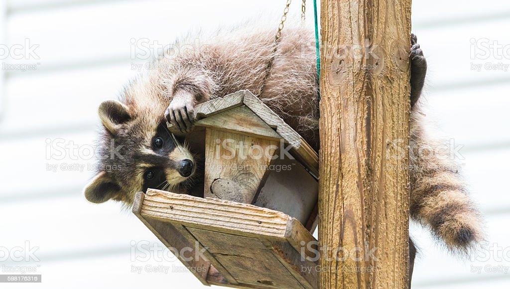 Raccoon (Procyon lotor) on a bird feeder in eastern Ontario. stock photo