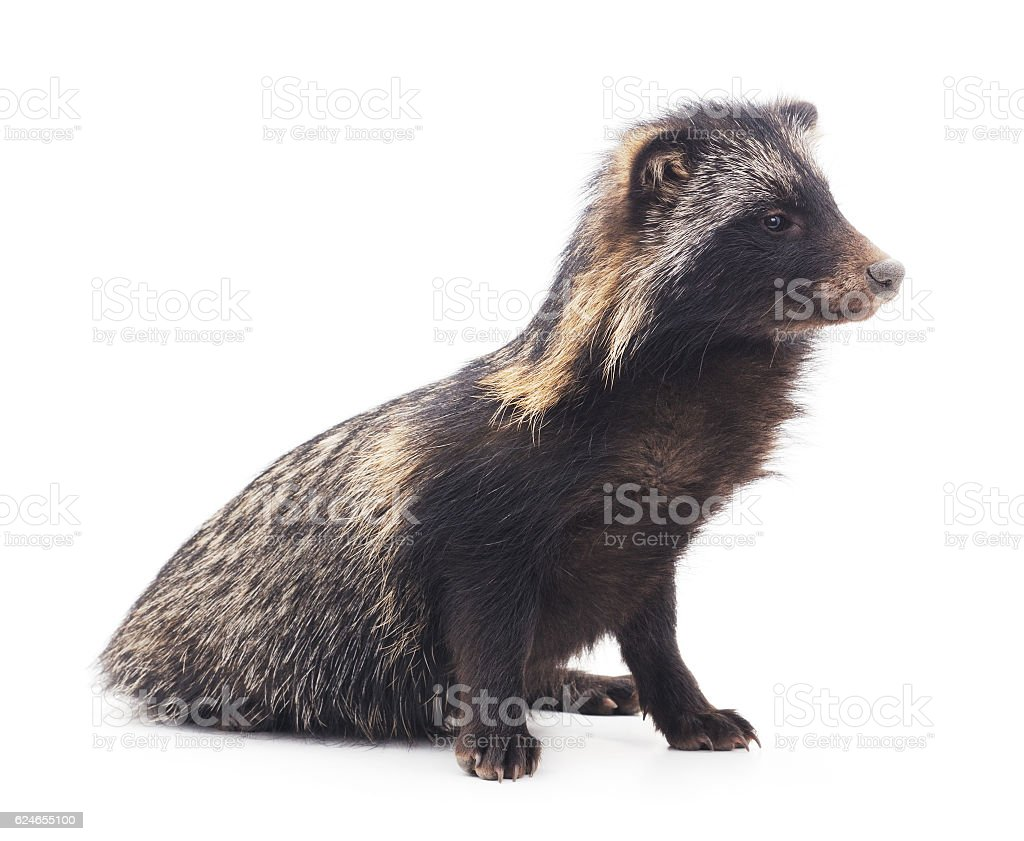 Raccoon on a white background. stock photo