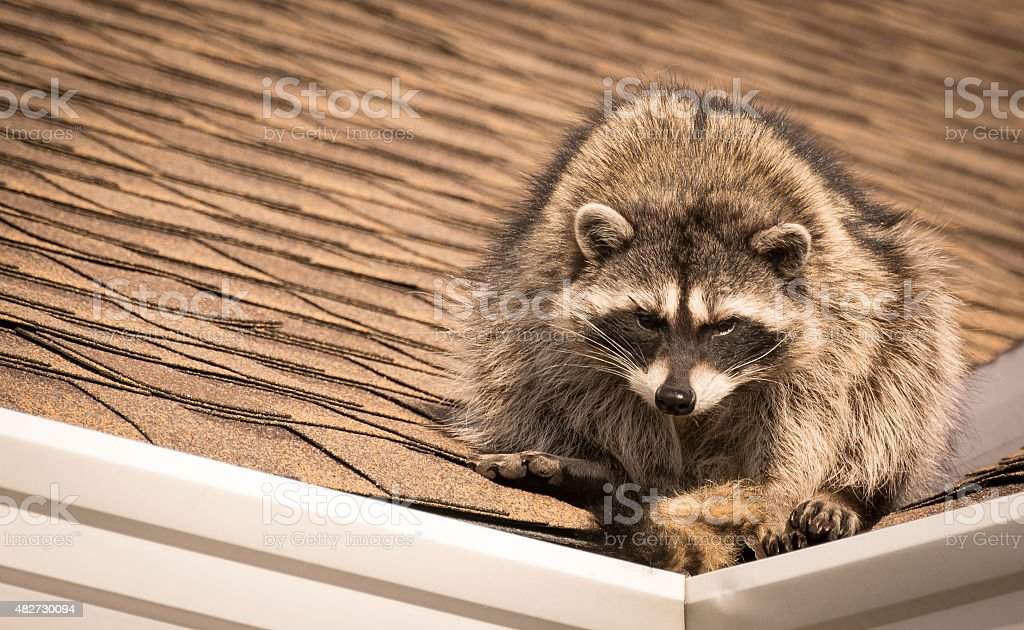 Raccoon on roof stock photo