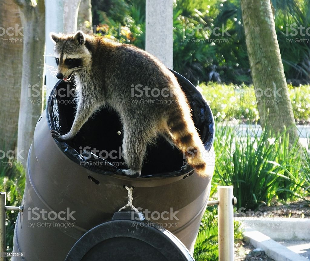 Raccoon (Procyon lotor) stock photo