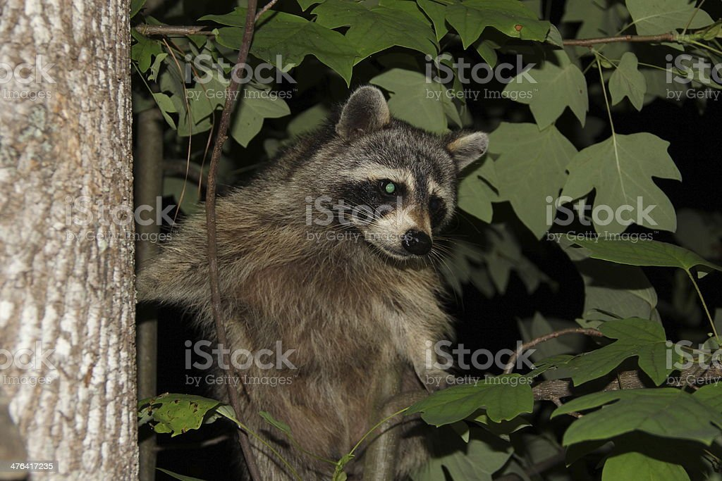 Raccoon royalty-free stock photo