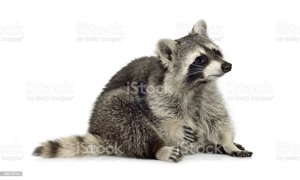 raccoon (9 months) -  Procyon lotor royalty-free stock photo