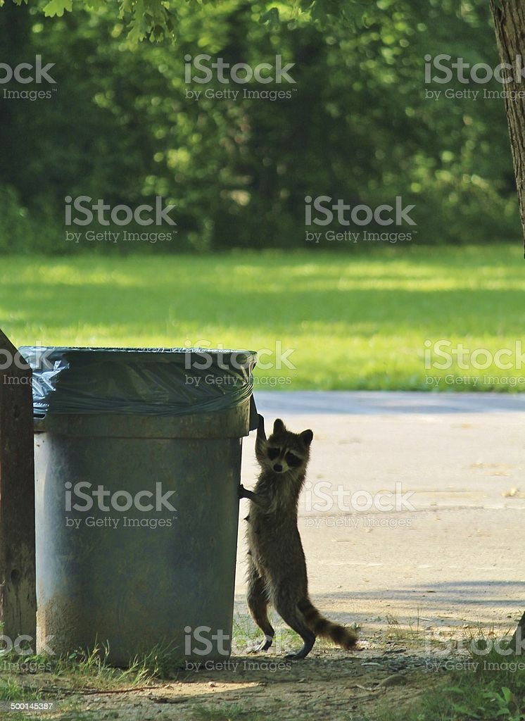 Raccoon Raiding Garbage stock photo