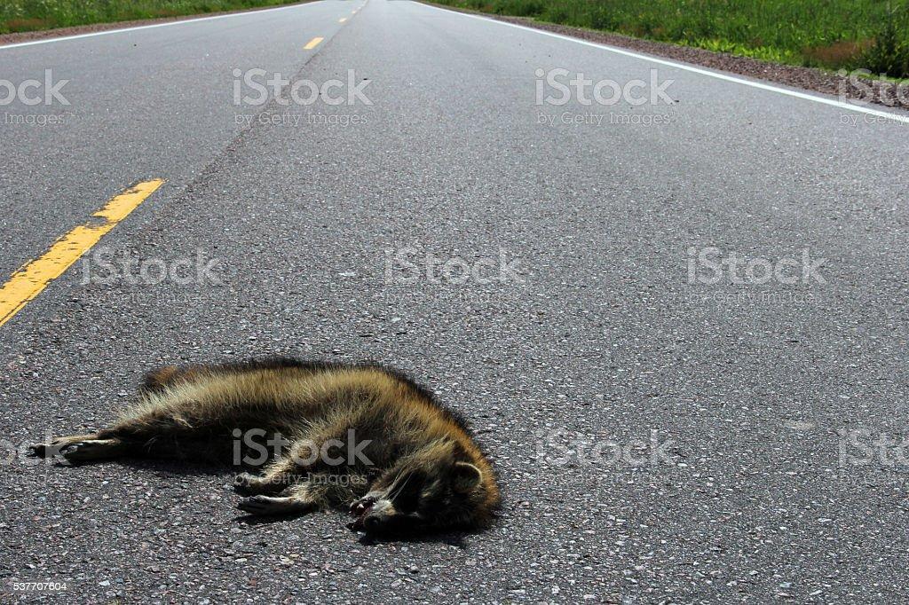 Raccoon roadkill on a rural highway stock photo