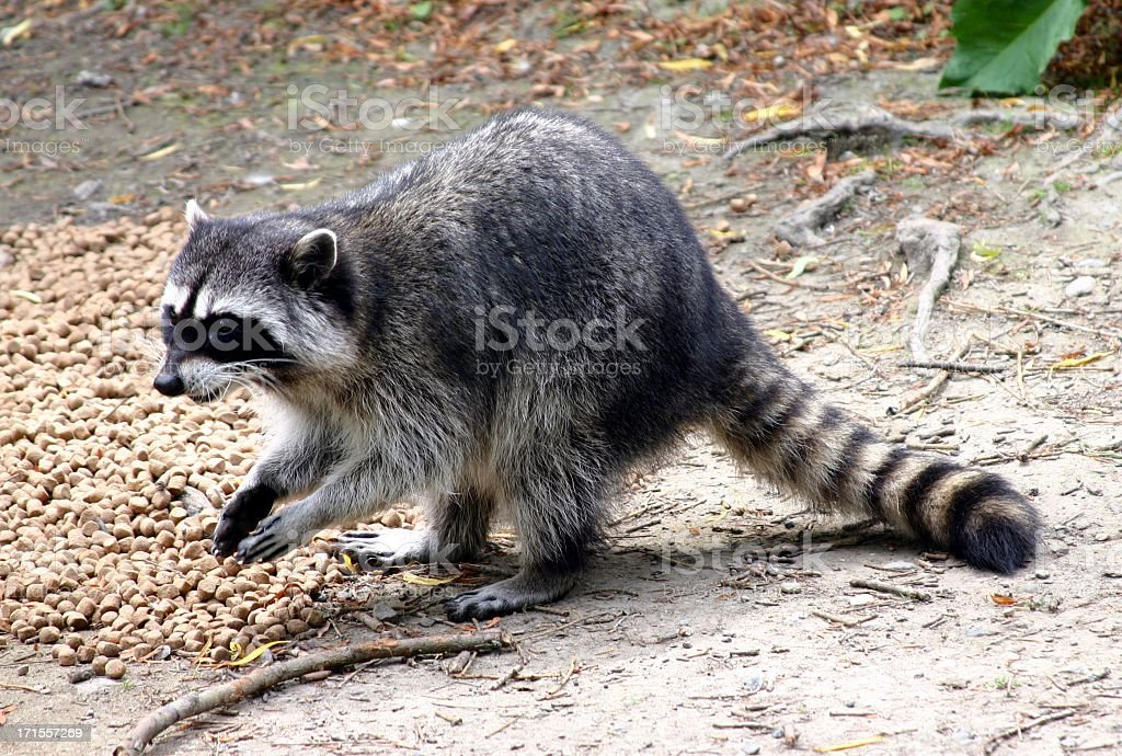 A raccoon scavenging for food in a wooded location stock photo