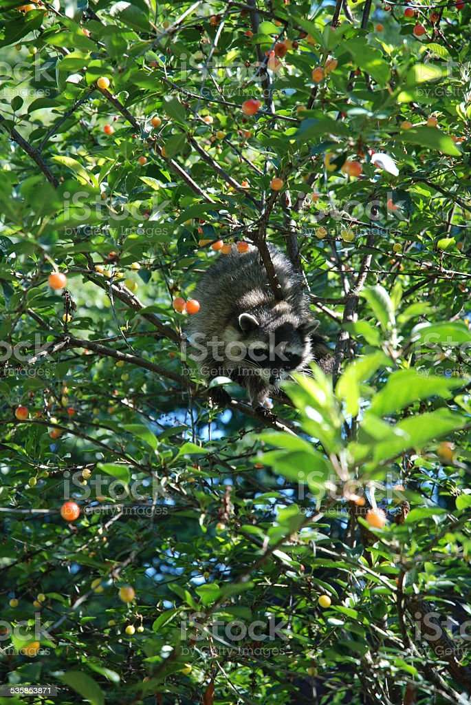 Raccoon Sitting in a Sour Cherry Tree royalty-free stock photo