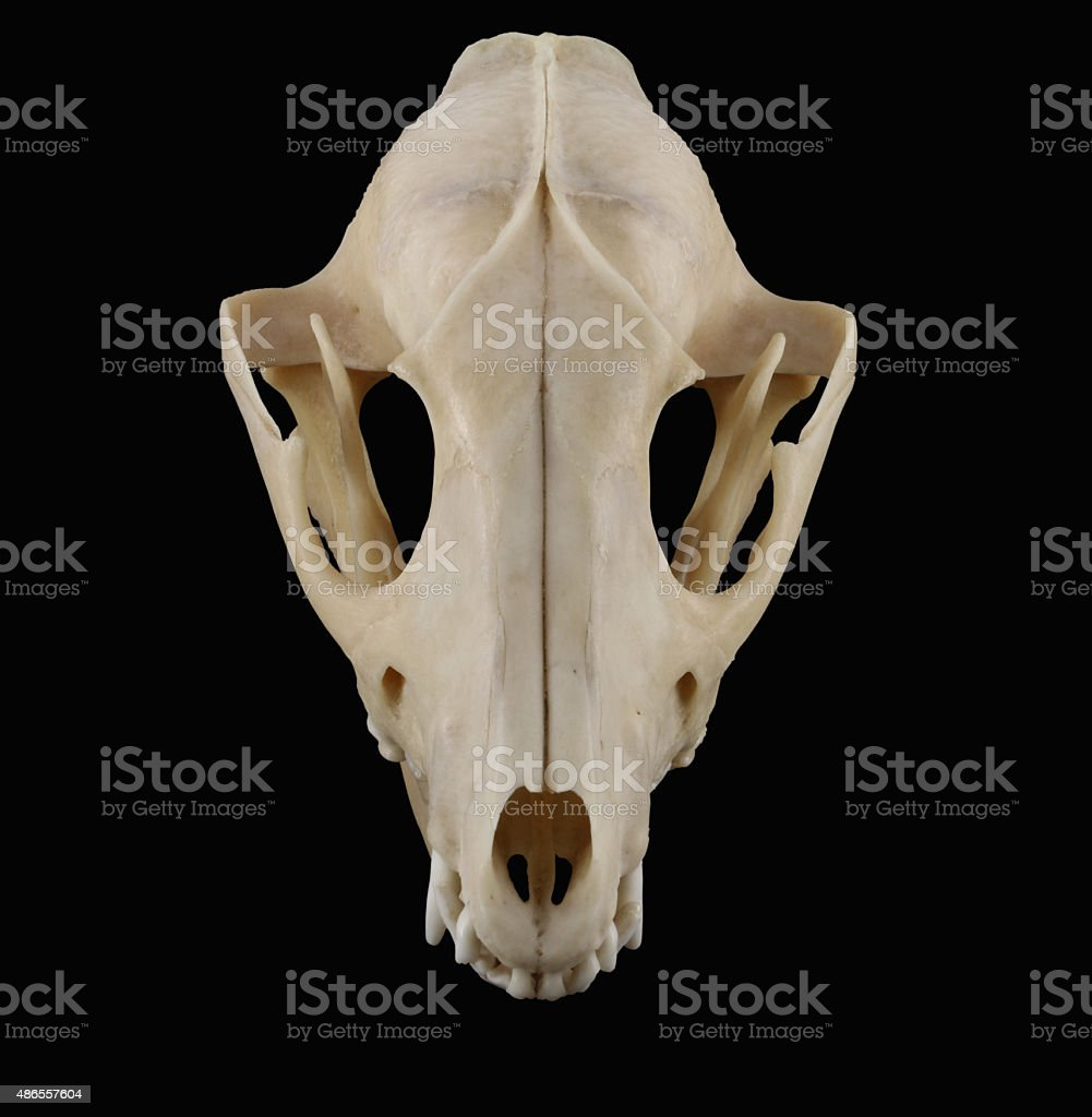 Raccoon skull top view isolated on the black background stock photo