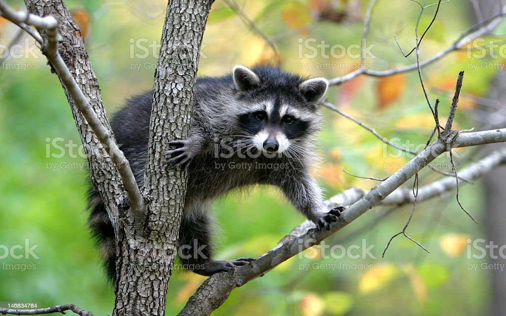 Raccoon standing on a branch in a tree stock photo