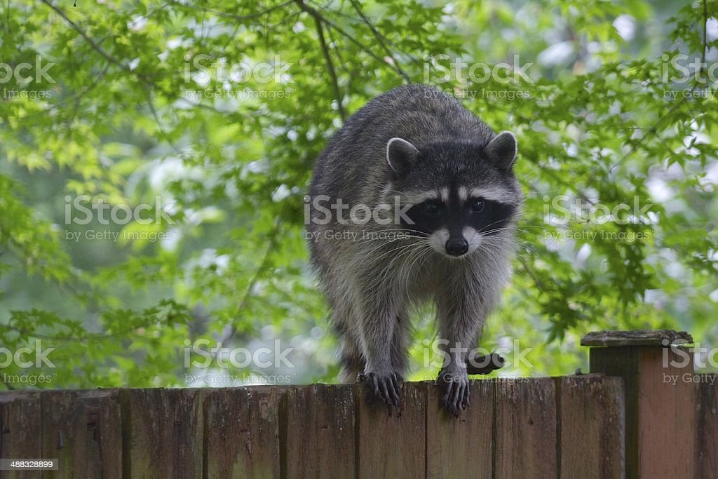 Raccoon Staring Outdoor on a Wooden Fence stock photo