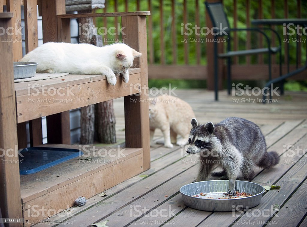 Raccoon stealing cat food stock photo