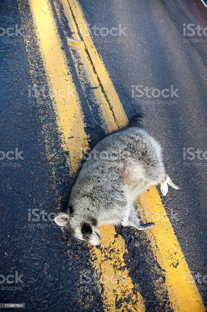 Raccoon struck by car on highway royalty-free stock photo