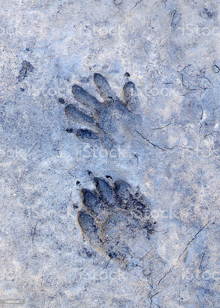 Raccoon Tracks royalty-free stock photo