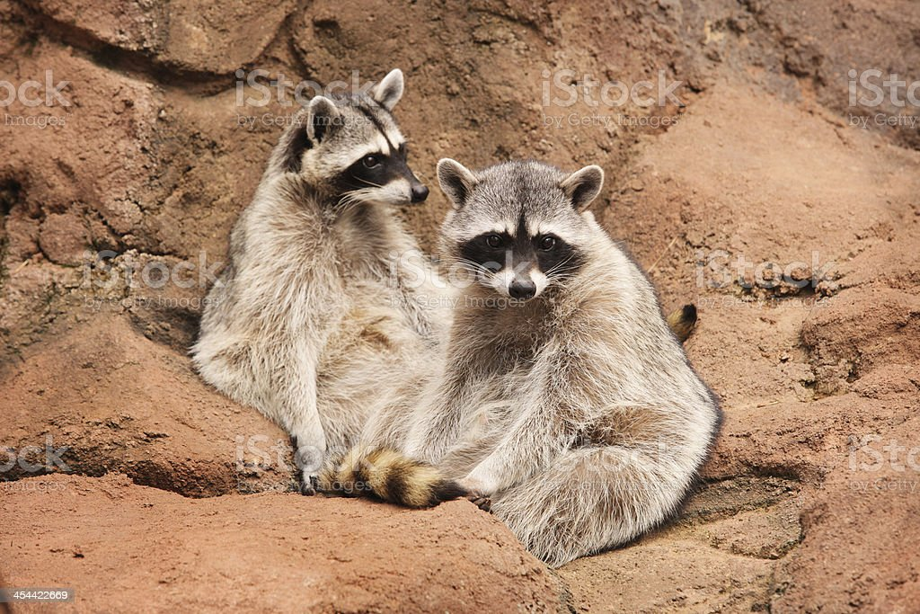 Raccoon Twins Procyon lotor Young Wildlife royalty-free stock photo