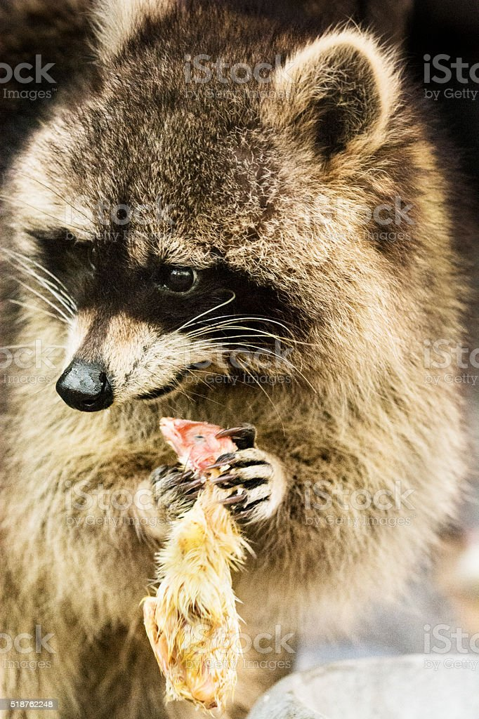Raccoon with prey - caught young bird stock photo