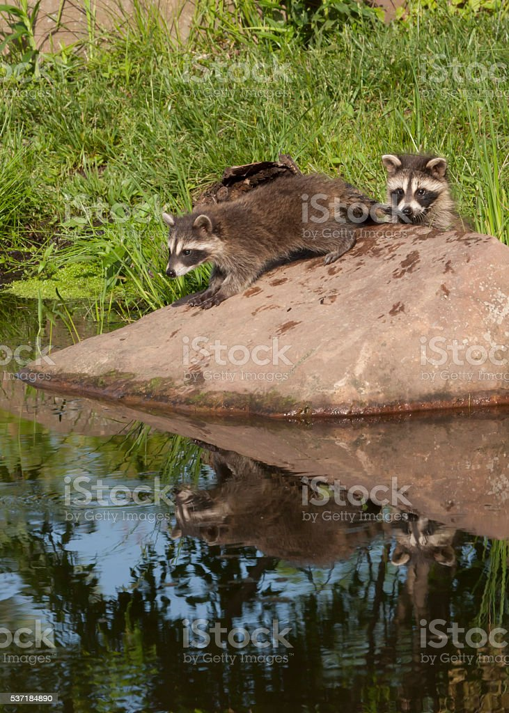 Raccoons on a Rock with Reflection in a Quiet Lake stock photo