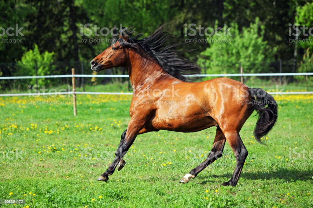 Race horse galloping in pasture stock photo
