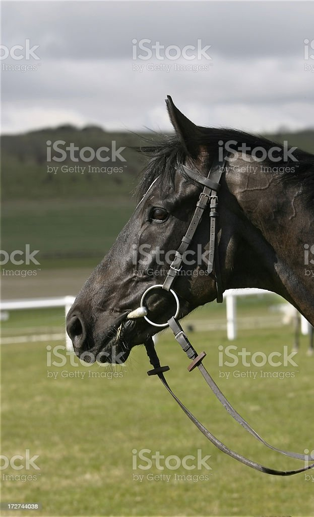 Racehorse Head royalty-free stock photo