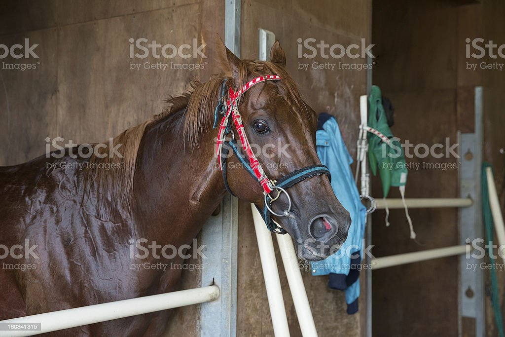 Racehorse in stable royalty-free stock photo