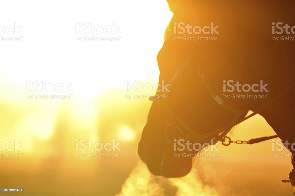 Racehorse training in the rising sun stock photo