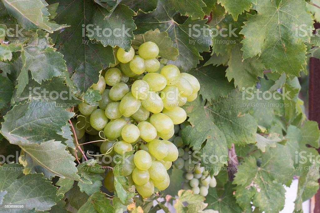racimo de L'uvas photo libre de droits