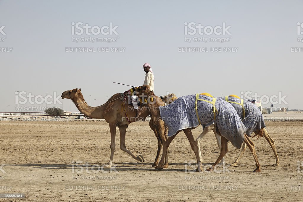 Racing Camels in Doha, Qatar royalty-free stock photo