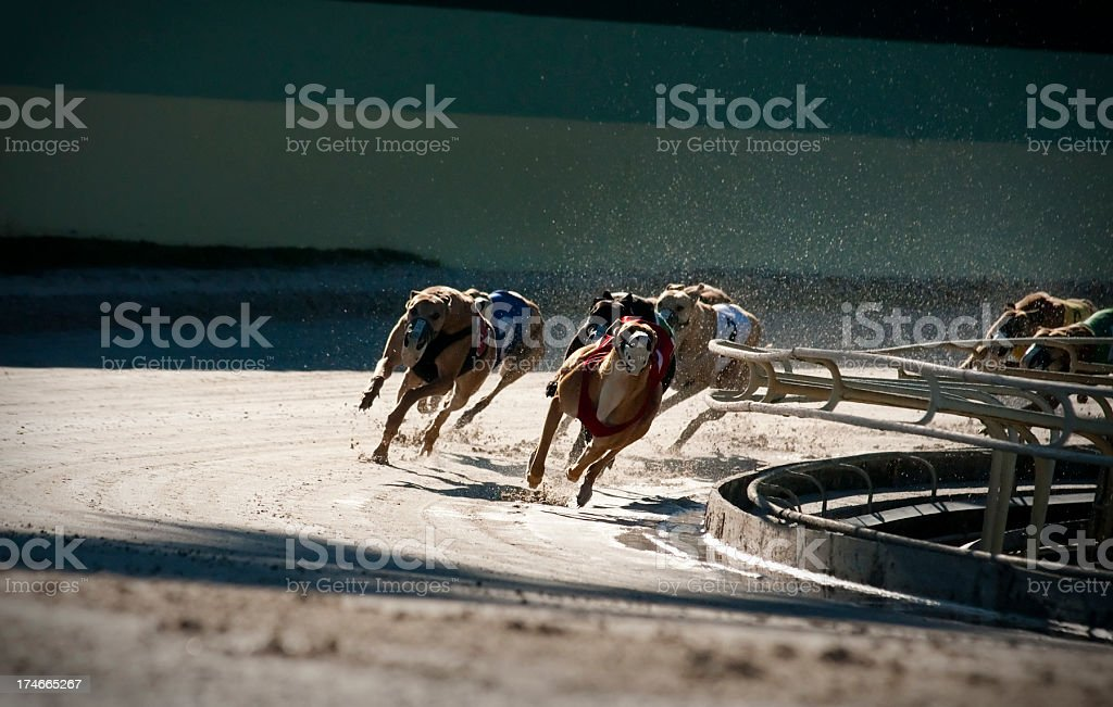 Racing dogs (2 of 7) stock photo