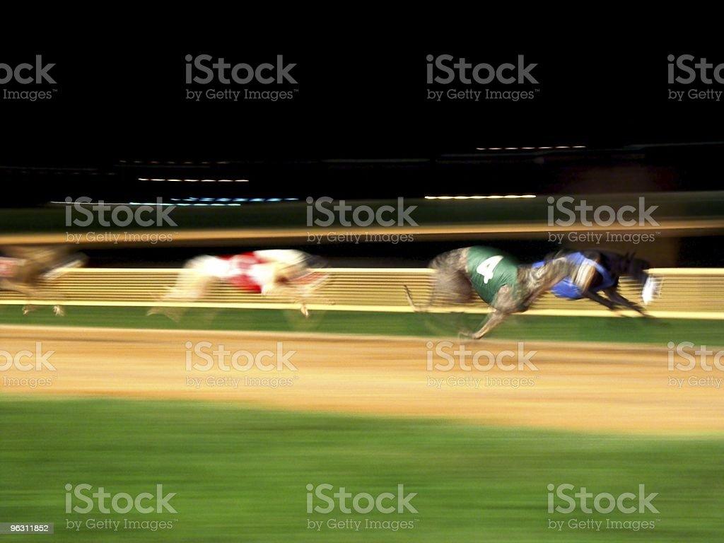 Racing Greyhounds stock photo