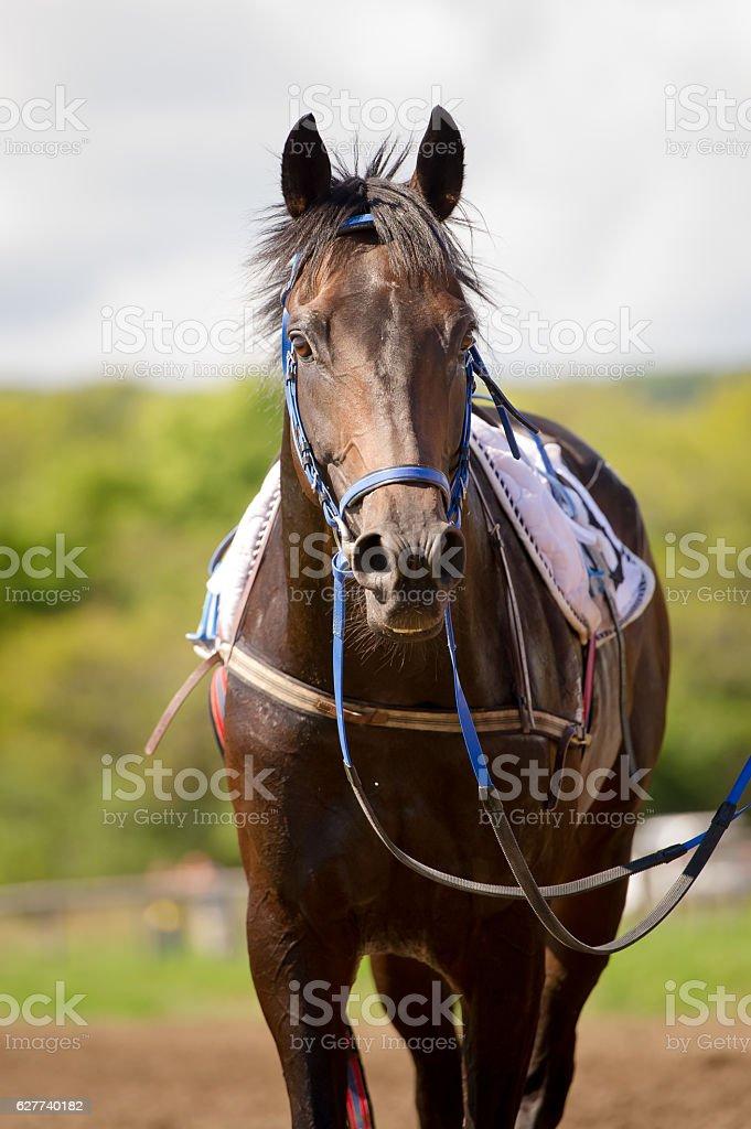 racing horse portrait close up stock photo