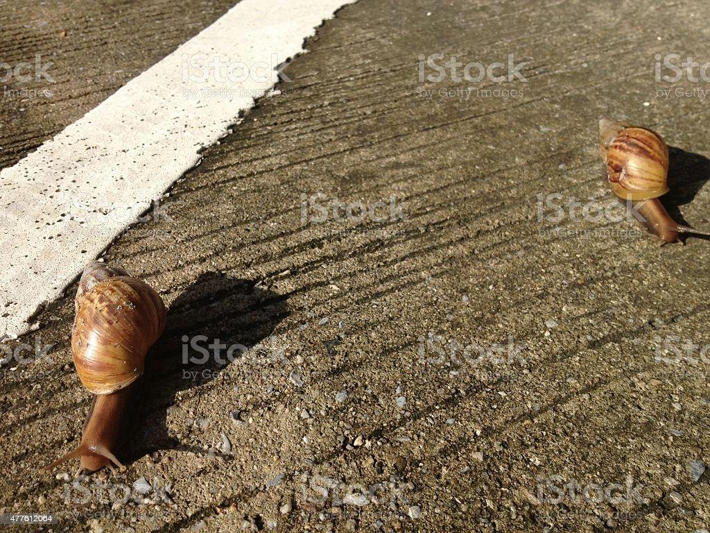 Racing of land snail royalty-free stock photo