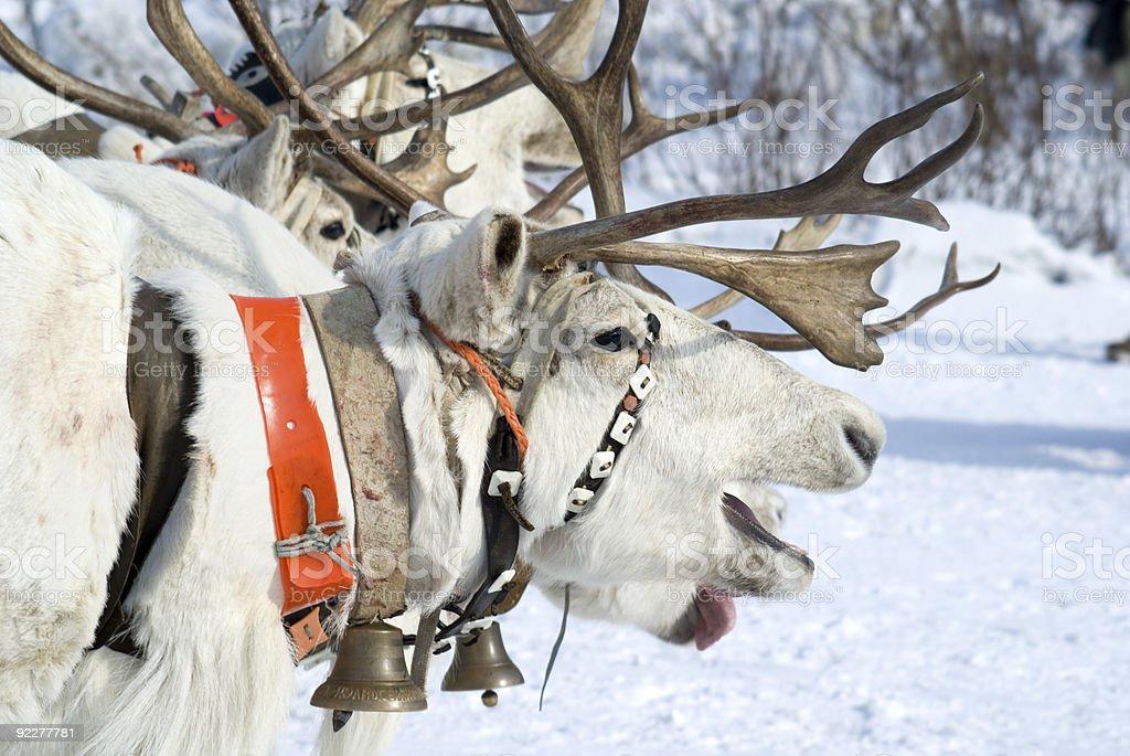 racing of reindeers royalty-free stock photo
