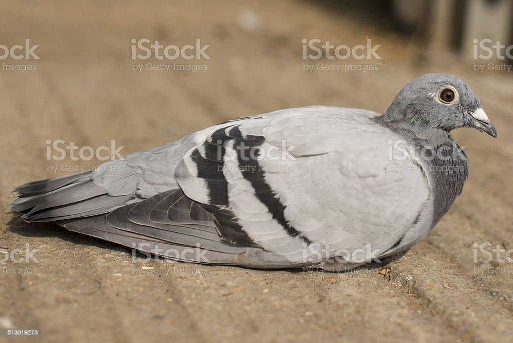 Racing Pigeon royalty-free stock photo