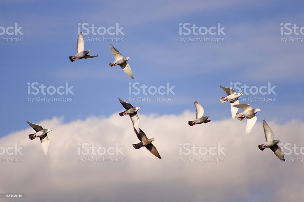 Racing pigeons stock photo
