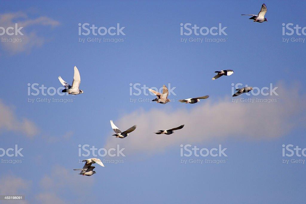 Racing pigeons royalty-free stock photo