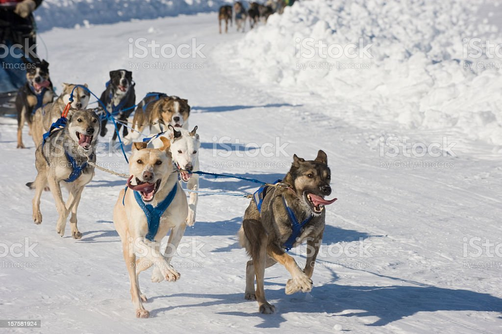 Racing Sled Dogs, Yellowknife. royalty-free stock photo