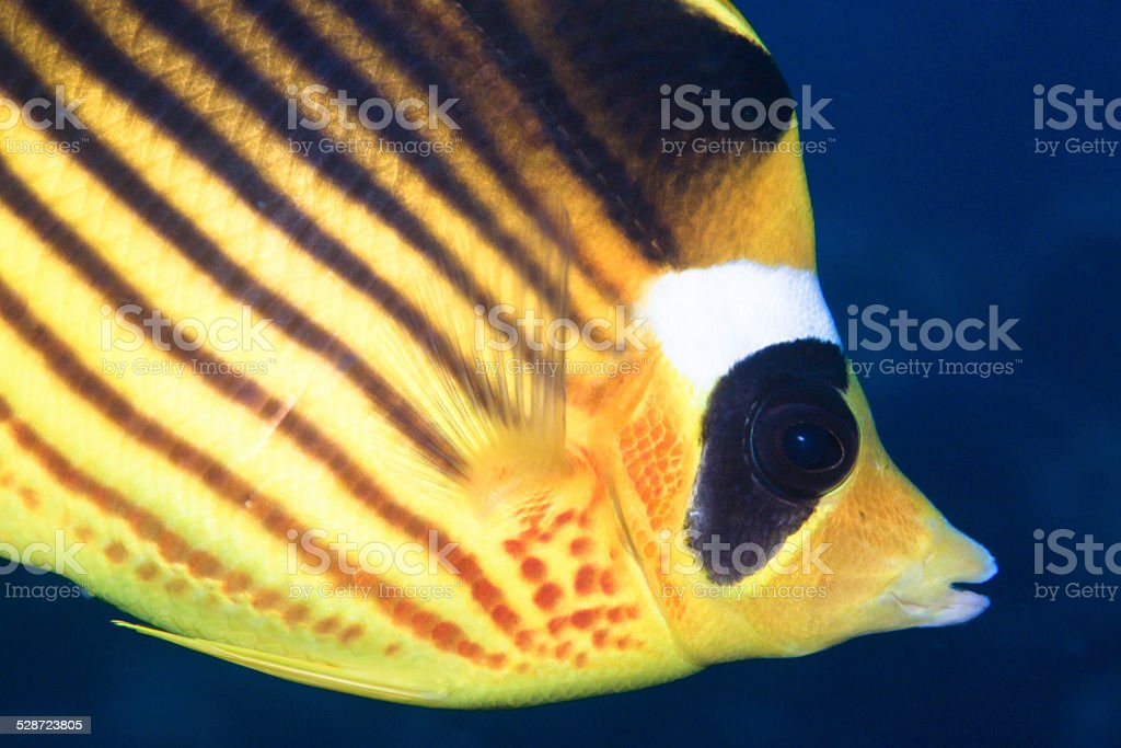 Racoon Butterflyfish stock photo