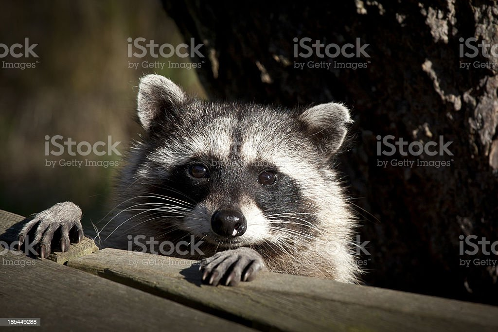 Racoon Face stock photo
