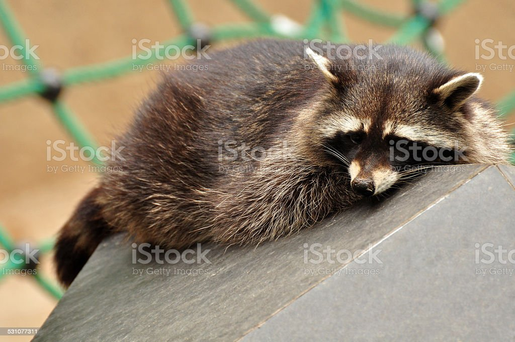 Racoon stock photo