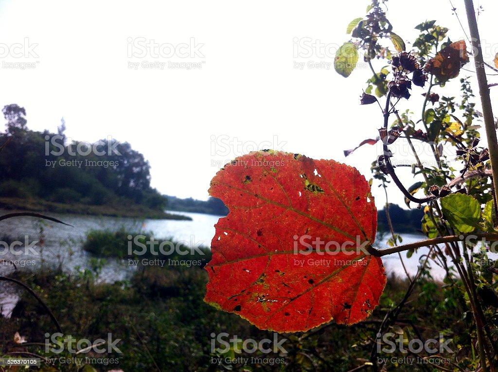 Rad leaf stock photo