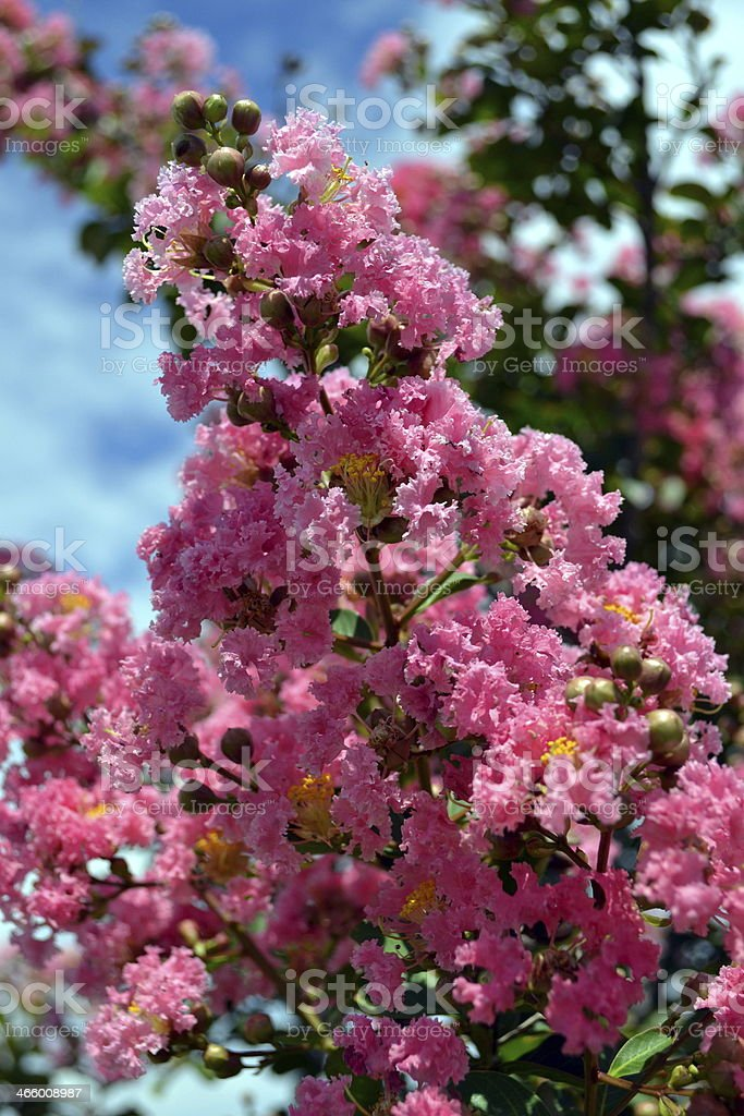 Radiant Orchid Crepe Myrtle Blossoms Against Brilliant Blue Sky stock photo