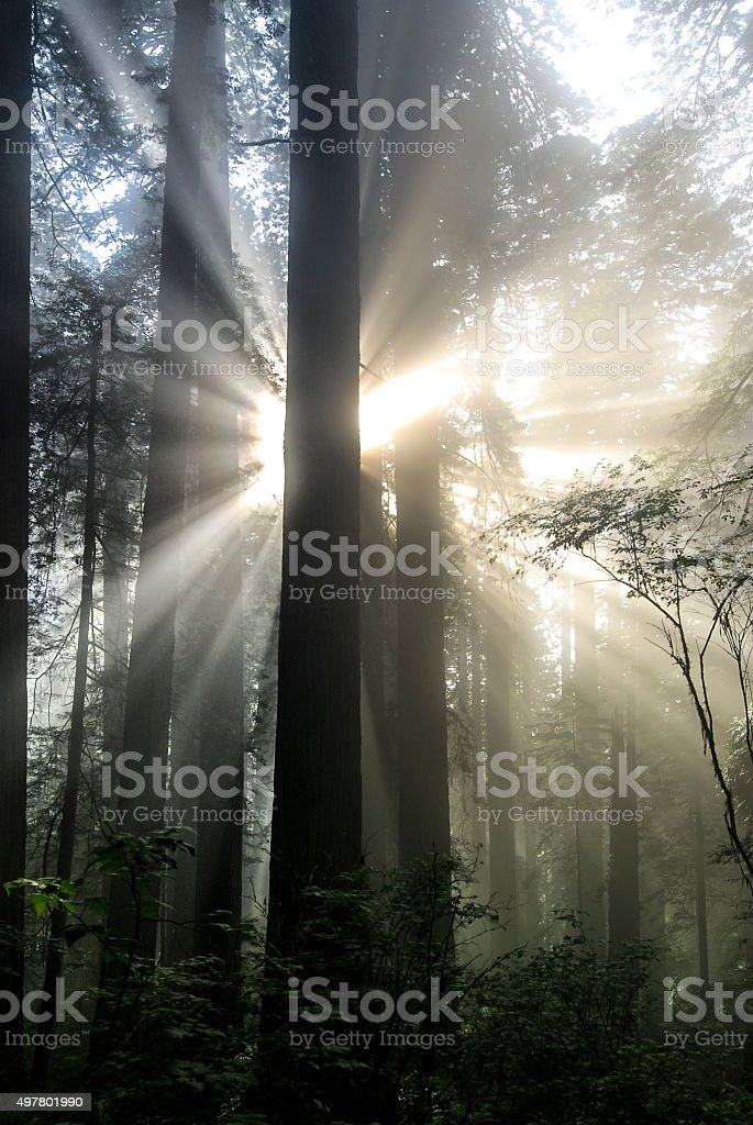 Radiant Redwood stock photo