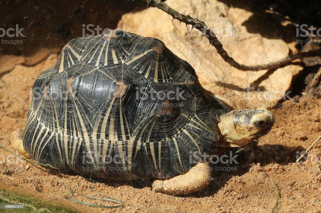Radiated tortoise (Astrochelys radiata). stock photo