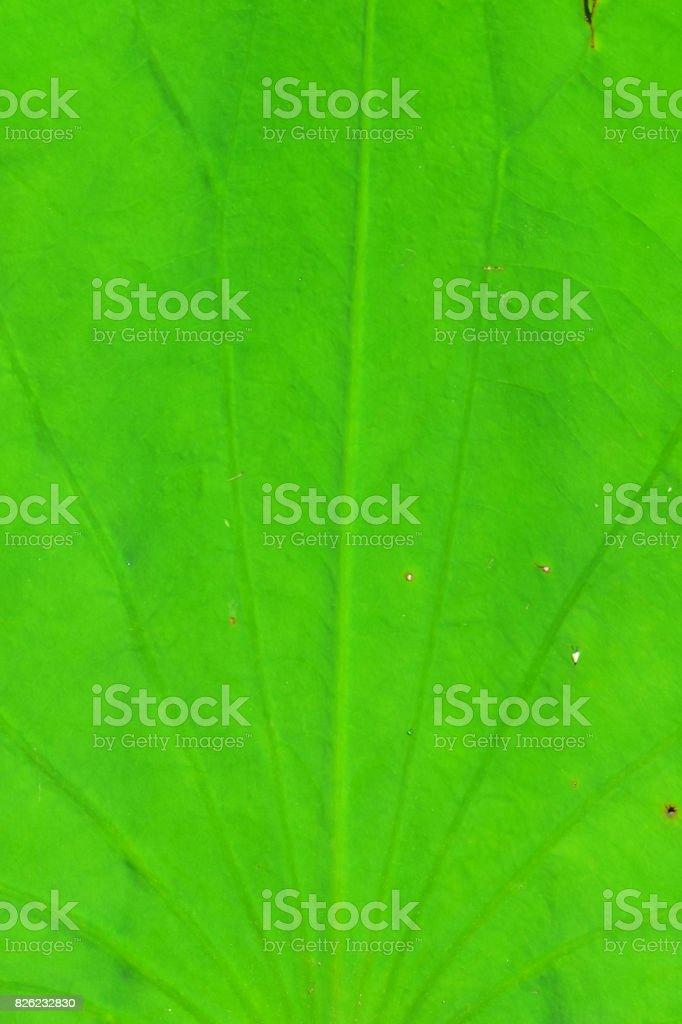 Radiating Lily pad leaf veins stock photo