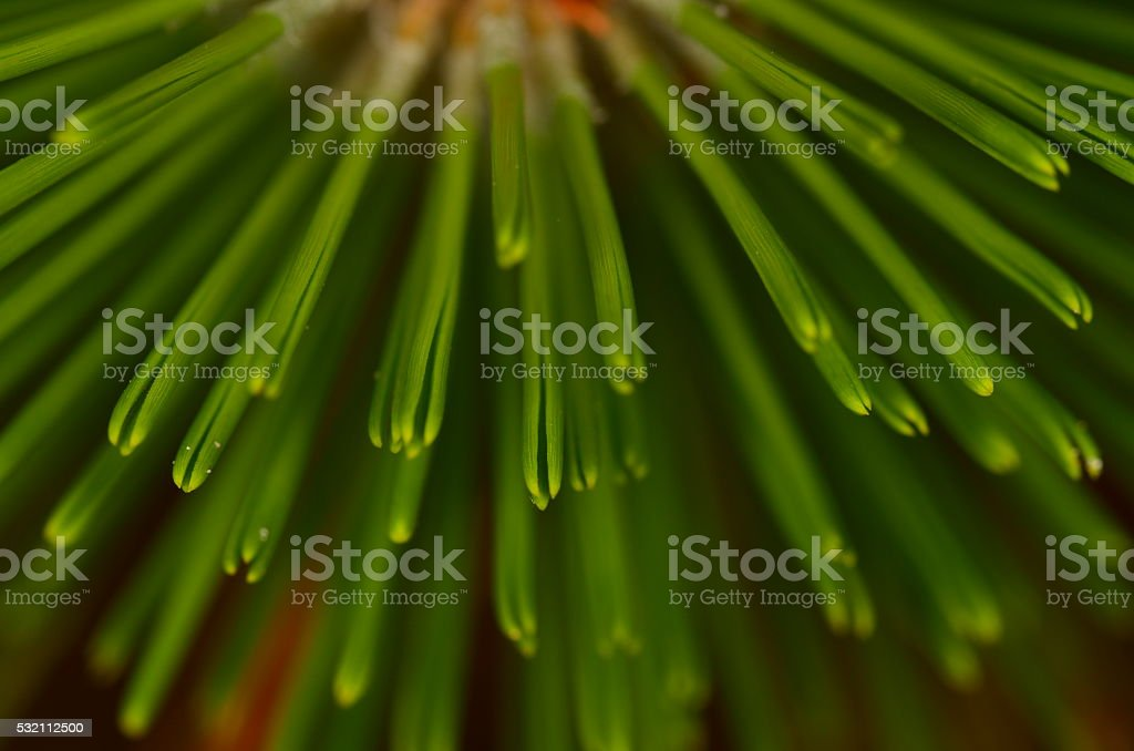 Radiating needle clusters on young Loblolly Pine stock photo