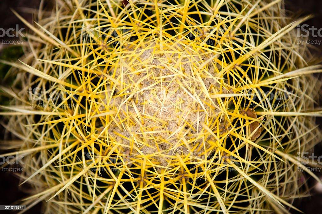 Radiating Spines, Golden Barrel Cactus (Echinocactus grusonii), Close Up View royalty-free stock photo