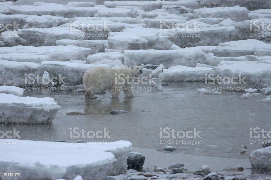 Radio collared wild polar bear in water Hudson Bay Manitoba stock photo