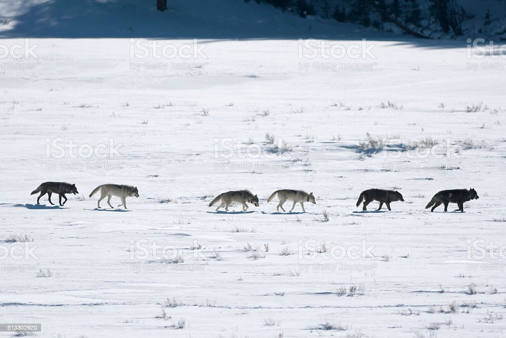 Radio tracking collared wolf pack Lamar Valley Yellowstone Wyoming stock photo